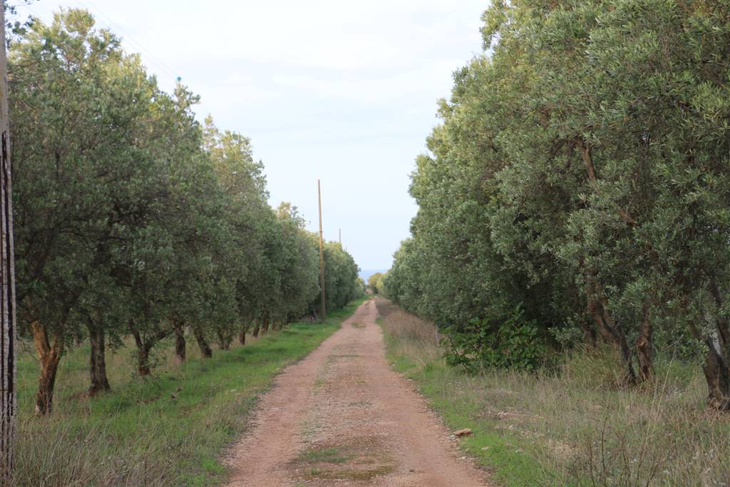 PIANTAGIONE DI ULIVI: Masseria in Rosa Marina, Ostuni