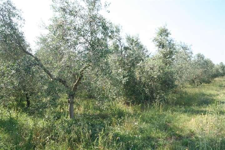 Terreno Agricolo in Vendita a Castagneto Carducci