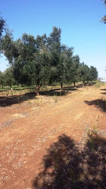 Terreno Agricolo in Vendita a Mesagne