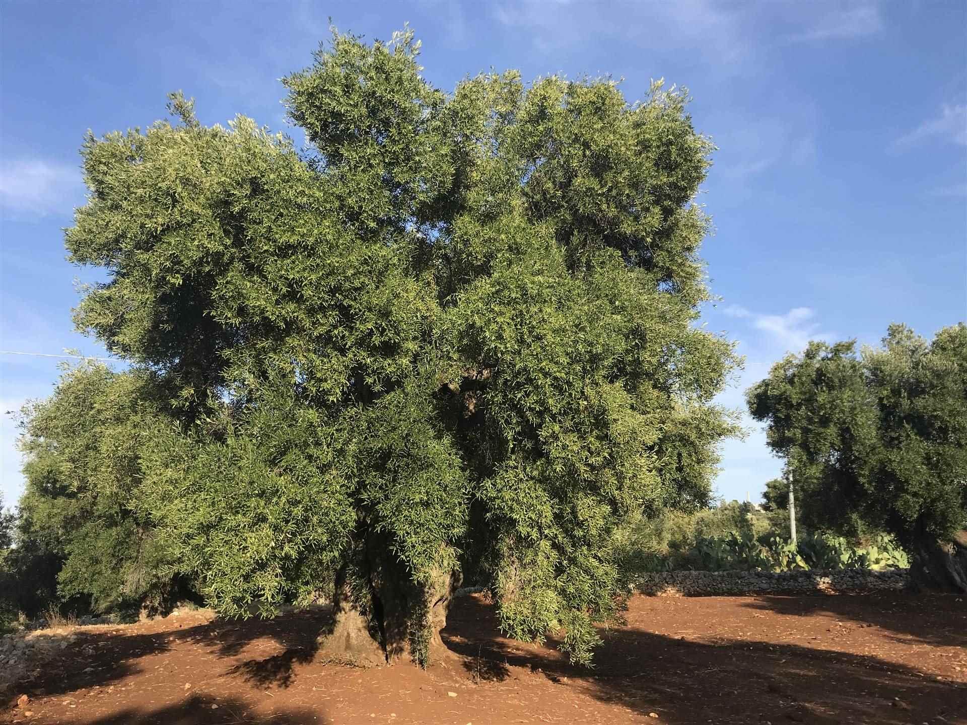Terreno Agricolo in Vendita a Ostuni