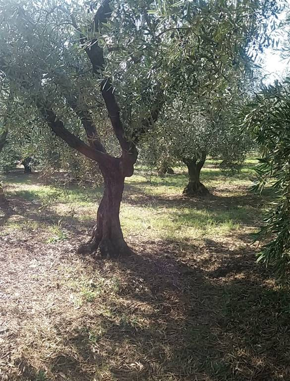 Farming plot of land in CAMPIGLIA MARITTIMA